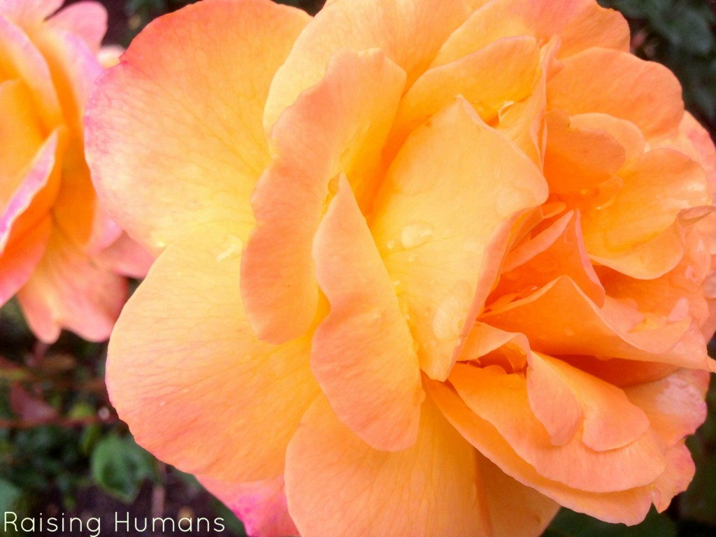 peach roses up close